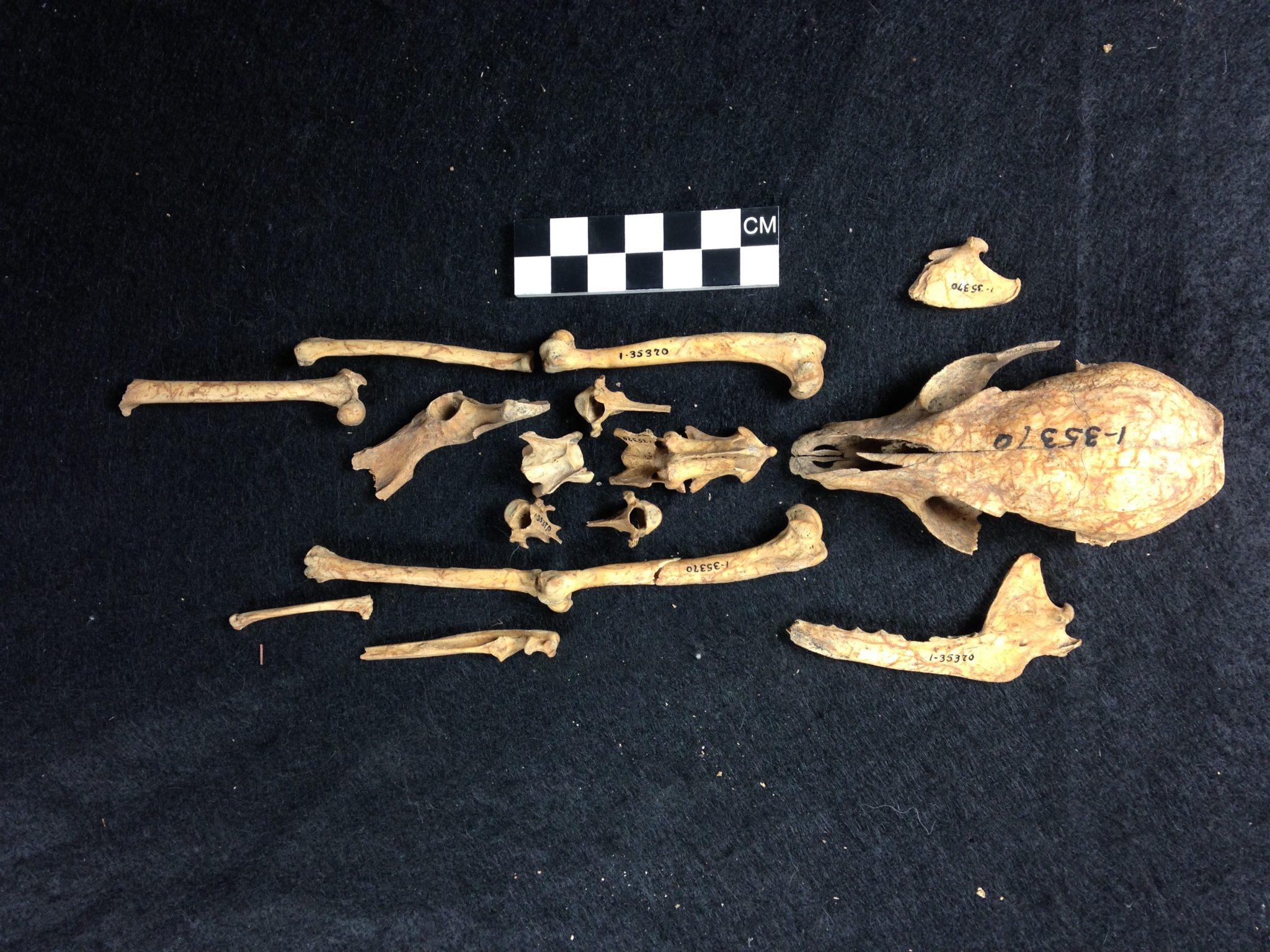 A skeleton of an island fox